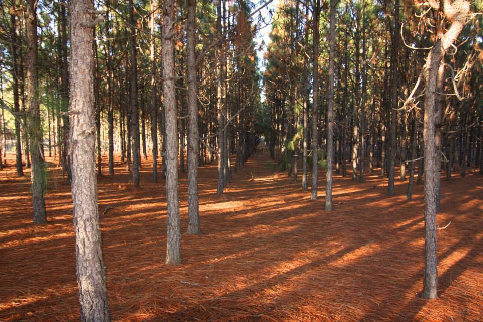 Benefits of Pine Straw Mulch